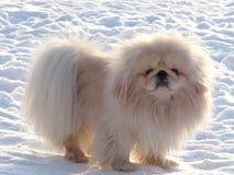 pekingese λευκός σαν το χιόνι στοκ εικόνες με δικαίωμα ελεύθερης χρήσης