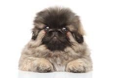 pekingese щенок Стоковые Изображения RF