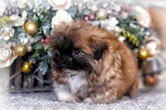 pekingese щенок Стоковая Фотография