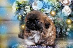 pekingese щенок Стоковое Фото