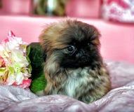 pekingese щенок Стоковое Изображение