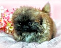 pekingese щенок Стоковое фото RF