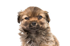pekingese щенок Стоковые Фотографии RF