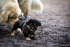 pekingese щенок Стоковые Изображения