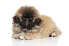 pekingese щенок Стоковые Фото