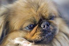 Pekingese -年迈的神色 免版税库存图片