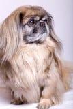 Pekingese狗 免版税库存照片
