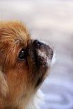 Pekingese Stock Image