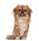 Pekingese, 18 months old, sitting Stock Photo