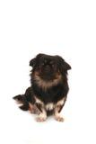 Pekingese Image stock