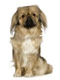 Pekingese (2 años) Imagenes de archivo