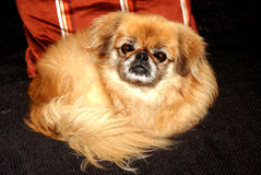 Pekingese Stock Photo