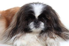 pekingese Photo stock