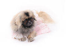 Pekingese. Romantic pekingese in pink dress stock photo