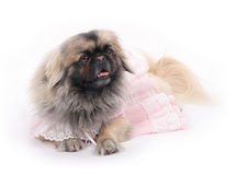 Pekingese. Dog laing on the floor royalty free stock photo