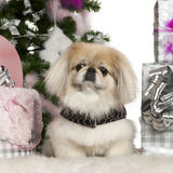 Pekingese, 6 years old, with Christmas tree Stock Images