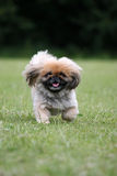 Pekingese. Cute Pekingese dog on a walk in the countryside Royalty Free Stock Photo