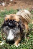 Pekingese. Portrait of pretty pekingese dog standing on a grass stock photography