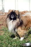 Pekingese. Portrait of pretty pekingese dog standing on a grass royalty free stock images