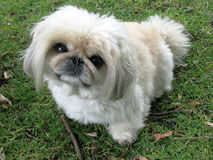 Pekingese  Royalty Free Stock Photography