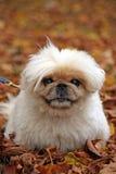 Pekingese  Royalty Free Stock Photography