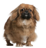 Pekingese, 8 months old, standing royalty free stock photography