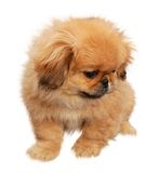 Pekingese Royalty Free Stock Photo