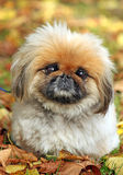 Pekingese Fotos de Stock