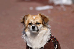 A standard photo of a Pekingese. The Pekingese (also known as the Lion-Dog, Pekingese Lion-Dog, Pelchie Dog, or Peke) is an ancient breed of toy dog, originating Royalty Free Stock Photography
