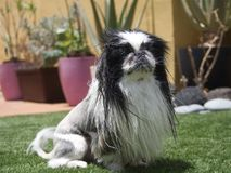 Pekingese. Beautiful dog sitting look with attention stock photo