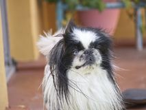Pekingese. Beautiful dog with two colors in the eyes royalty free stock photography