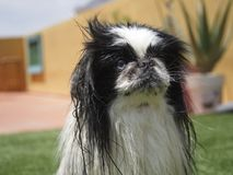 Pekingese. Beautiful puppy looks with attention stock image