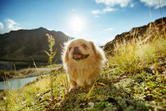 Pekingese berg för rolig djur hund Fotografering för Bildbyråer