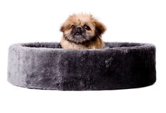 Pekingese in a big basket Royalty Free Stock Images
