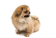 Pekingese brown cute little lapdog Royalty Free Stock Photo