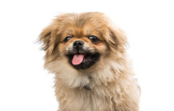 Pekingese brown cute little lapdog Royalty Free Stock Image