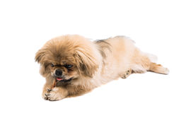 Pekingese brown cute little lapdog Royalty Free Stock Images