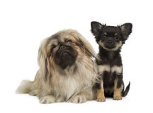 A Pekingese and a chihuahua. In front of a white background Stock Photo