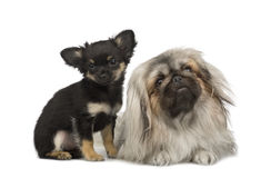 A Pekingese and a chihuahua Royalty Free Stock Images