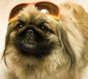 Pekingese dans des lunettes de soleil. Images stock