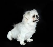 Pekingese dog Royalty Free Stock Image
