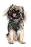 Pekingese dog Royalty Free Stock Images