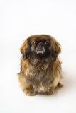 Pekingese dog Royalty Free Stock Photo