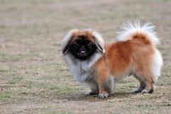 Pekingese dog. Watching at you Royalty Free Stock Photography