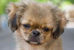 Pekingese dog Stock Images