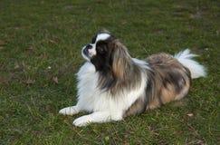 Free Pekingese Dog Stock Photos - 35407873