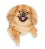 Pekingese dog above banner Royalty Free Stock Image