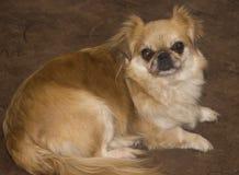 Pekingese dog Royalty Free Stock Images