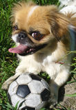 Pekingese dog and ball. A Pekingese dog playing with his ball in the park Royalty Free Stock Photos