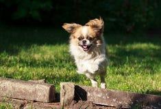 Pekingese dog Royalty Free Stock Image